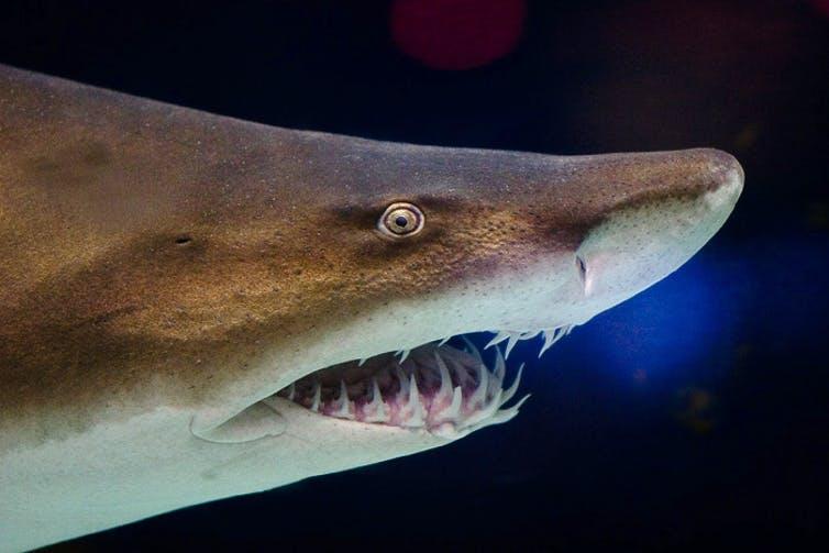 A shark showing its teeth