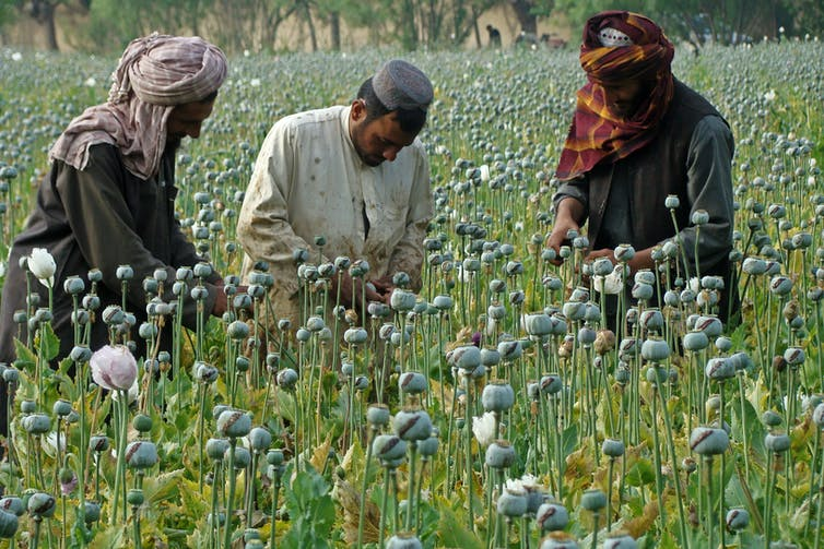 Afghan farmers inspect poppies in a field of opium in Helmand province.