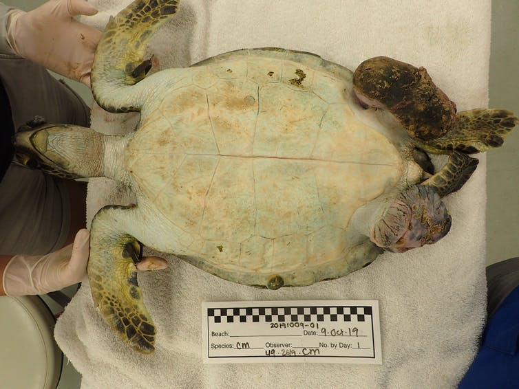 A sea turtle on its back in an exam room. One of its flippers is severely deformed.