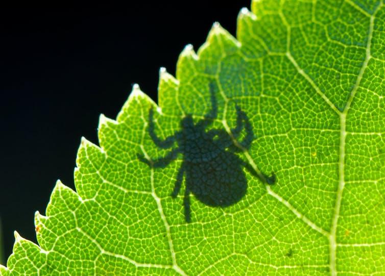 Shadow of a tick on a green leaf